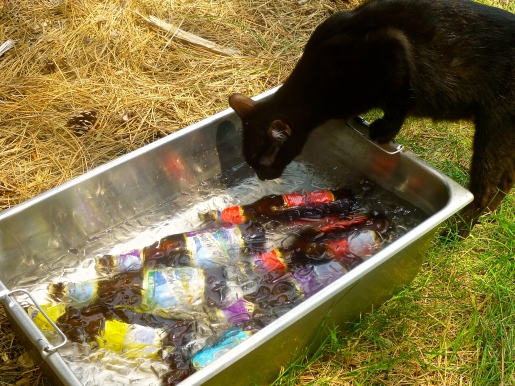 Holly, the monastery cat, quenching her thirst on a hot summer day